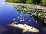 Гибель рыбы в пруду