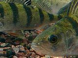 период зимней спячки прудовых рыб